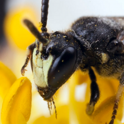 We're all gonna die – Jenkit panivat mehiläisiä uhanlaisten lajien listalle